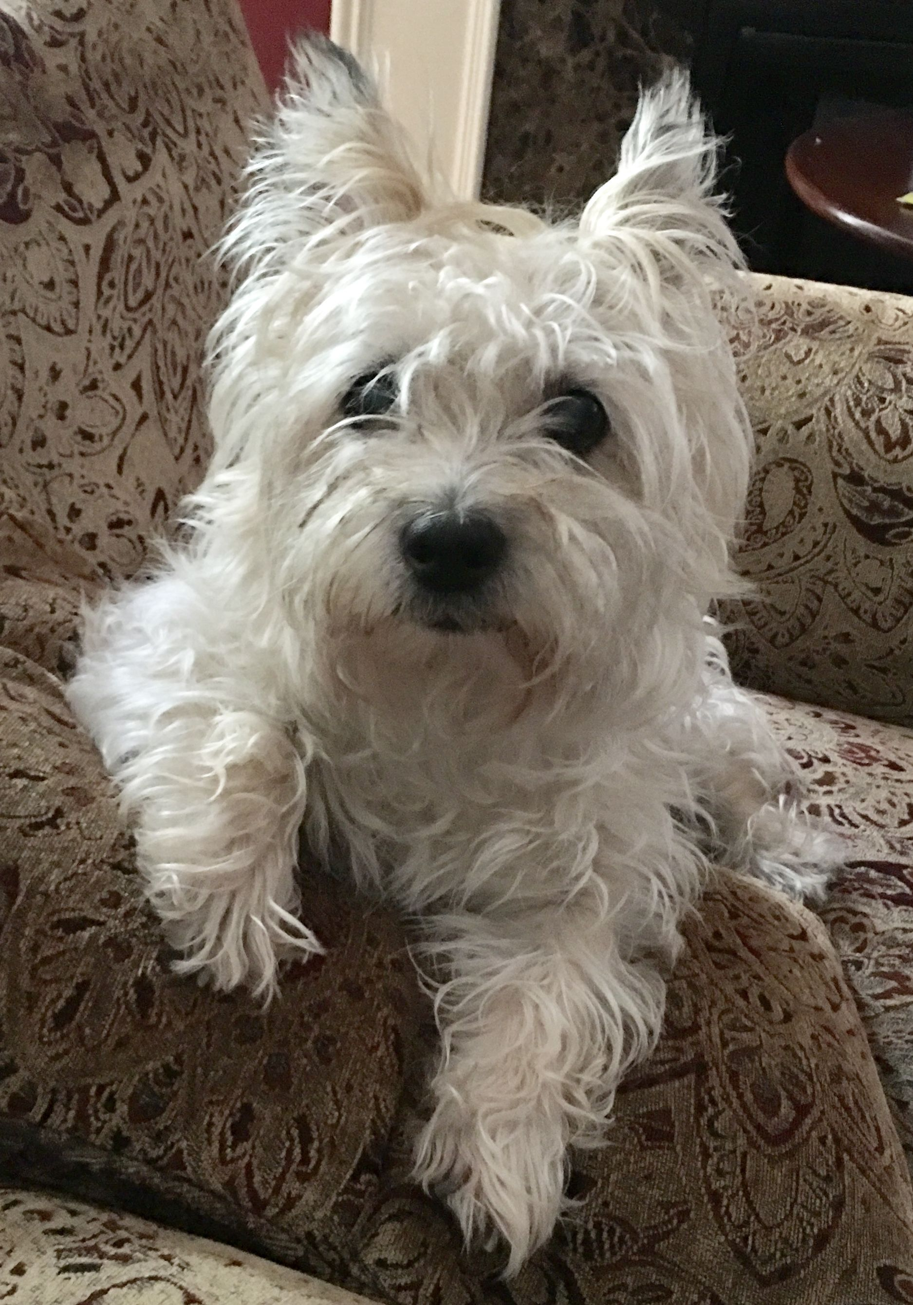 Pin By Deborah Hitch On Cairn Terriers With Images Cairn