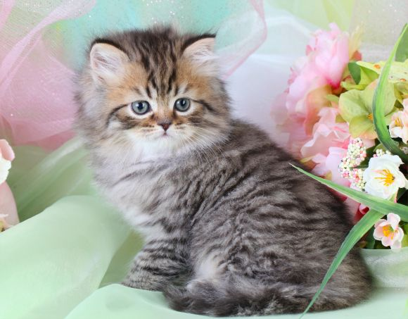 Tabby Persian Kittens For Sale Cute Cats And Dogs Cute Cats Beautiful Cats