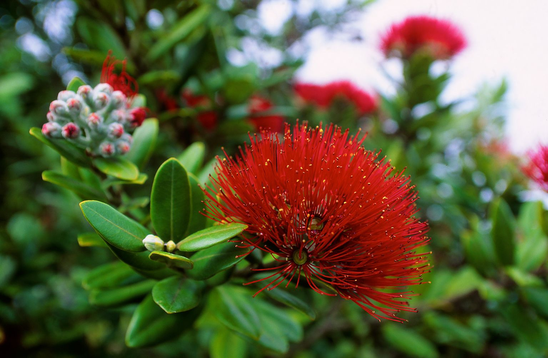 New Zealand Flowers Photoprint for Sale Pohutukawa
