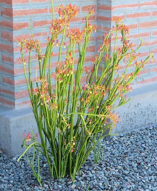 pedilanthus macrocarpus slipper