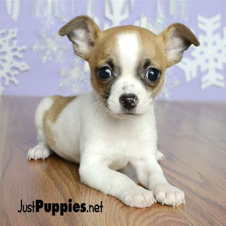 Puppies For Sale Orlando Fl Justpuppies Net Chihuahua