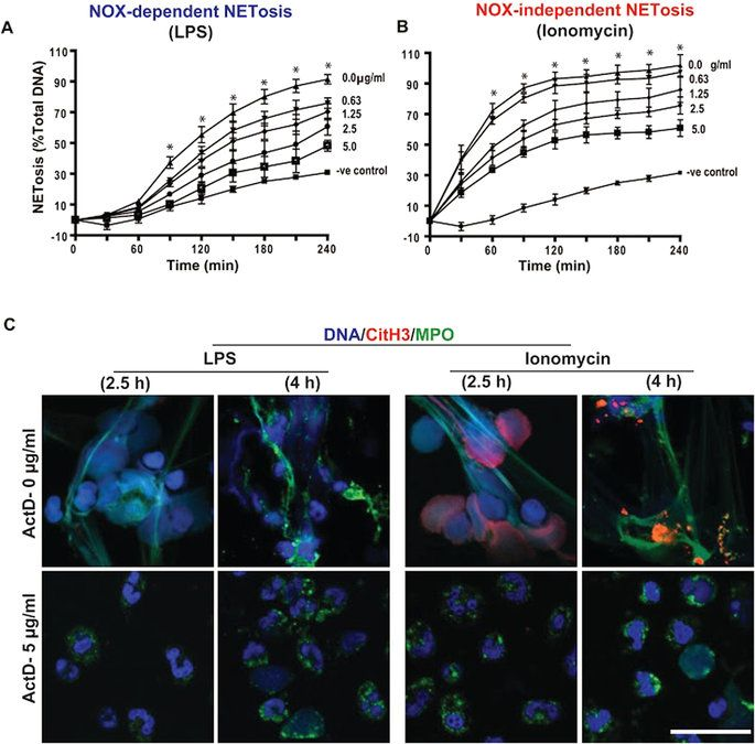 Transcriptional firing helps to drive NETosis