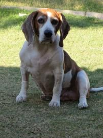 Meet Sundance A 9 Years 7 Months Beagle Mix Available For
