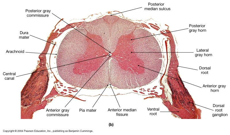 Spinal Cord Cross Section Slide Google Search The Basics Of
