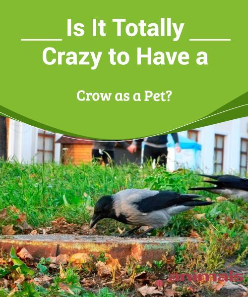 Is It Totally Crazy To Have A Crow As A Pet If We Told
