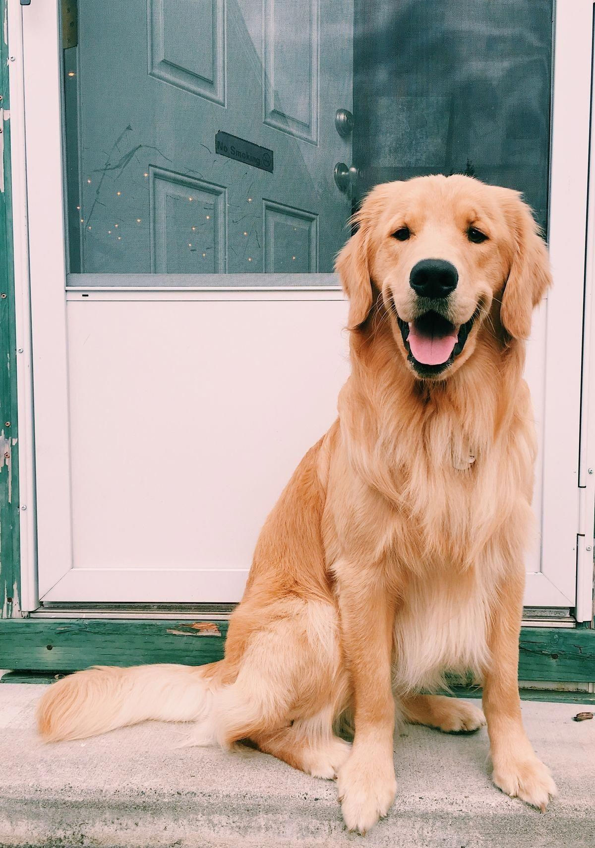 Discover The Friendly Golden Retriever Dog And Kids Goldenretrievertoday Goldenretriever Golde Dogs Golden Retriever Golden Retriever Cute Dogs And Puppies