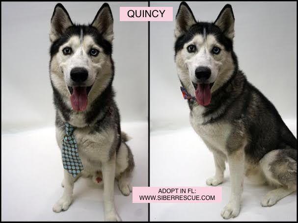 Tampabay Florida Siberian Husky Quincy For Adoption Www
