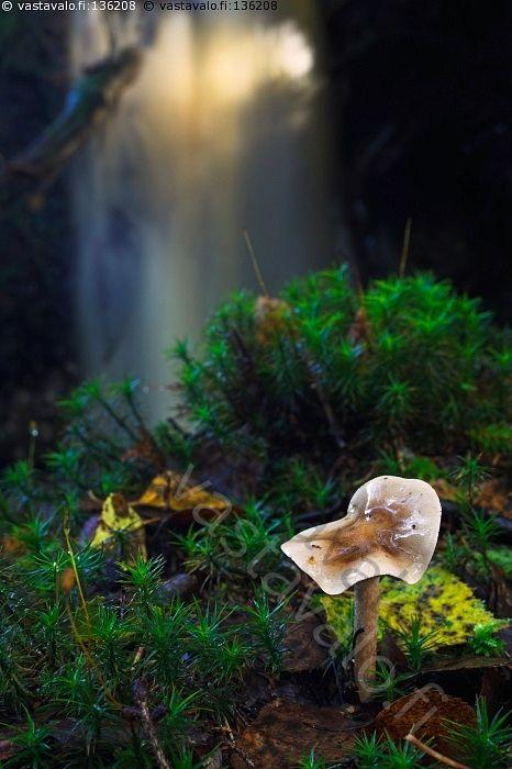 Puron varressa - metsä syksy sieni märkä kostea lakki puro putous vesi valua virrata koivun lehti sammal vihreä auringonsäteet