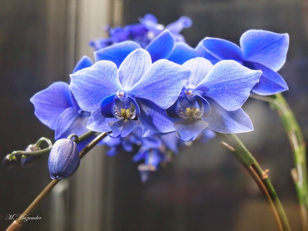 Google Beautiful Orchids Orchids Moth Orchid