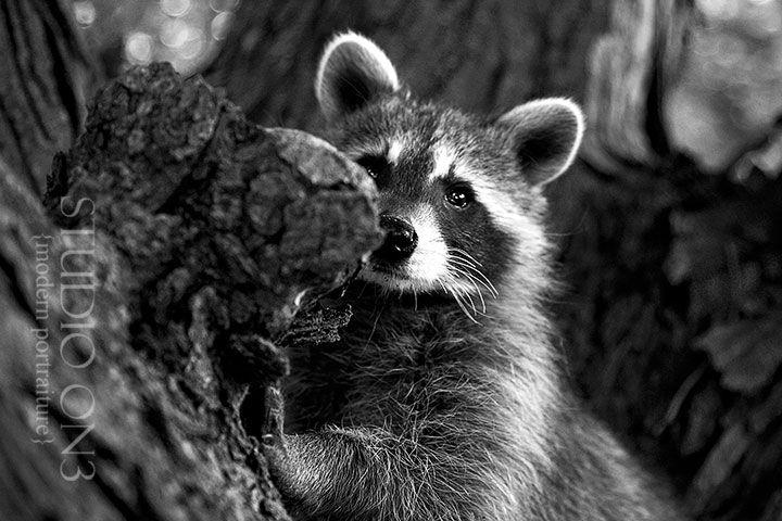 "http://www.studio-on3.com  Our pet raccoon ""yogi"""