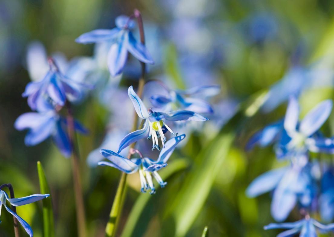 Lumikellot, talventähdet, krookukset ja skillat tietävät, milloin talvi vaihtuu kevääksi. Lue Viherpihan vinkit kevään ensimmäisten kukkijoiden kasvatukseen.