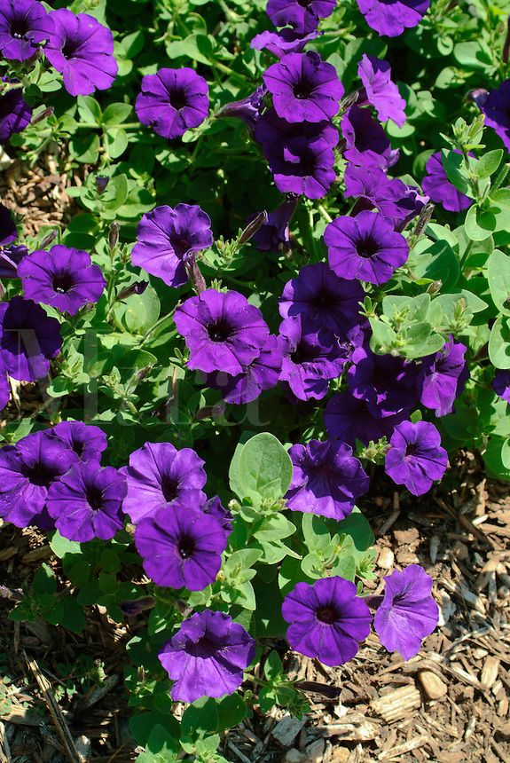 Blue Wave Petunias Are Low Growing Trailing Plants And Are