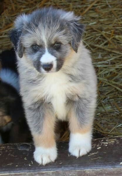 Diluted Black Tri Australian Shepherd Puppy Black Tri Australian Shepherd Australian Shepherd Aussie Dogs