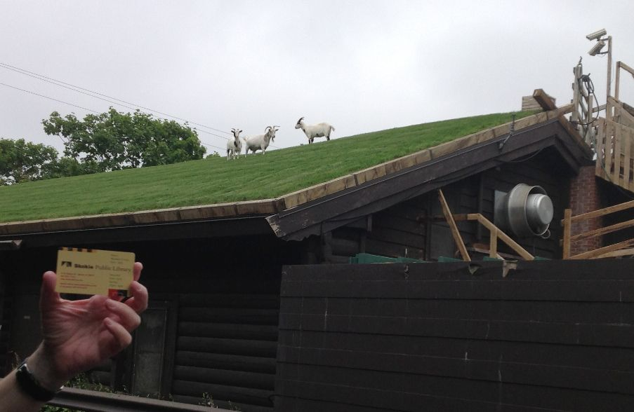 Door County goats on roof at Al Johnson's in Sister Bay