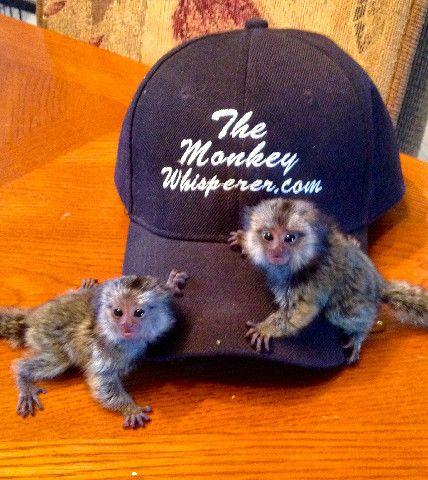 Baby Marmoset Monkeys For Sale Marmoset Monkey Monkeys For Sale Pet Monkey