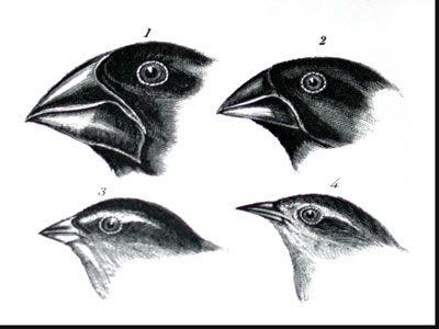 Darwins Finches Drawing | www.pixshark.com - Images ...