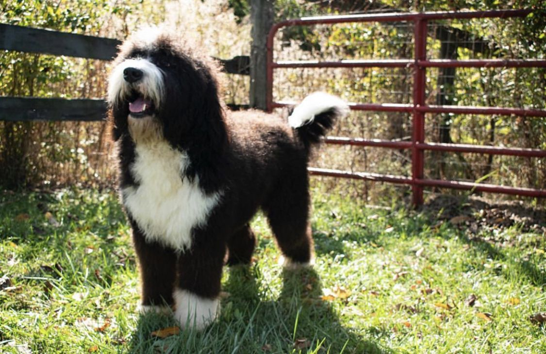 Big Boy Bernedoodle Puppy Goldendoodle Breeders Beautiful Boys