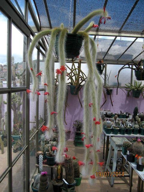 Cleistocactus winteri ssp. colademono