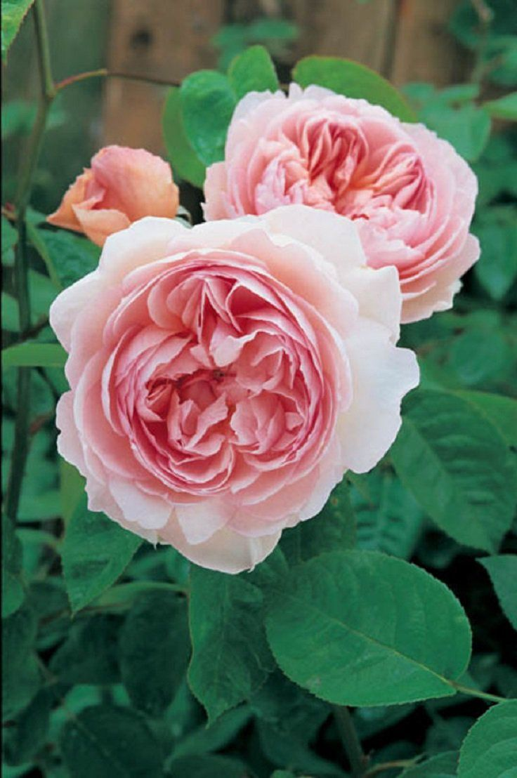 Top 10 of the most fragrant flowers in the world page 8 of 10 top 10 of the most fragrant flowers in the world page 8 of 10 izmirmasajfo
