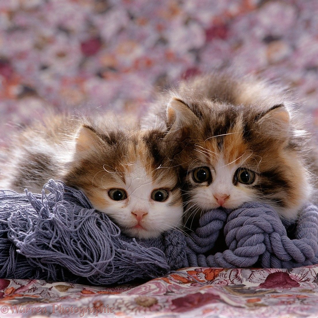 Persian Cross Calico Kittens Photo WP16485 playconquest