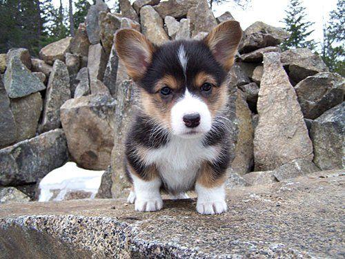 Brown Tri Colored Corgis Black Face Color Of A Tri Pup Mycorgi Com Lola Ideas Cute Corgi Puppy Corgi Pembroke Corgi