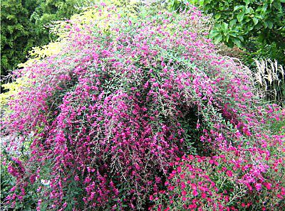Spreading Pea Shrub Hot Pink Flowers Deer Resistant Lespedeza 30 Seeds