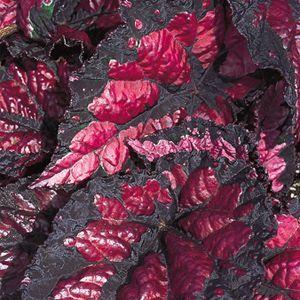 Chicago Fire Begonia Rex Hybrid Begonia Annual Plants Shade