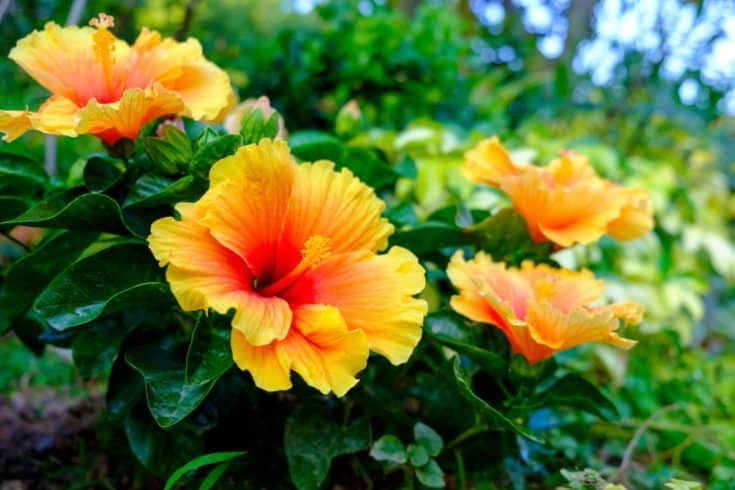14 Beautiful Shrubs To Grow Well Near The Swimming Pool In 2021 Pool Landscaping Shrubs Swimming Pools