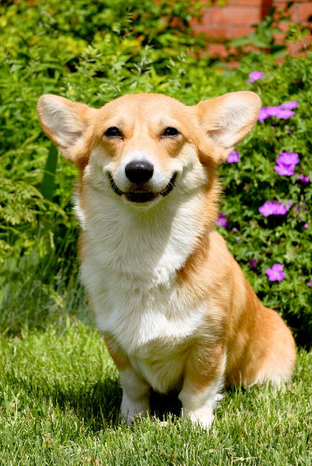 The Day When This Corgi First Realized She Was A Corgi And Basically Could Do Whatever She Wanted For The Rest Of Her Life Happy Animals Corgi Smile Smiling Animals