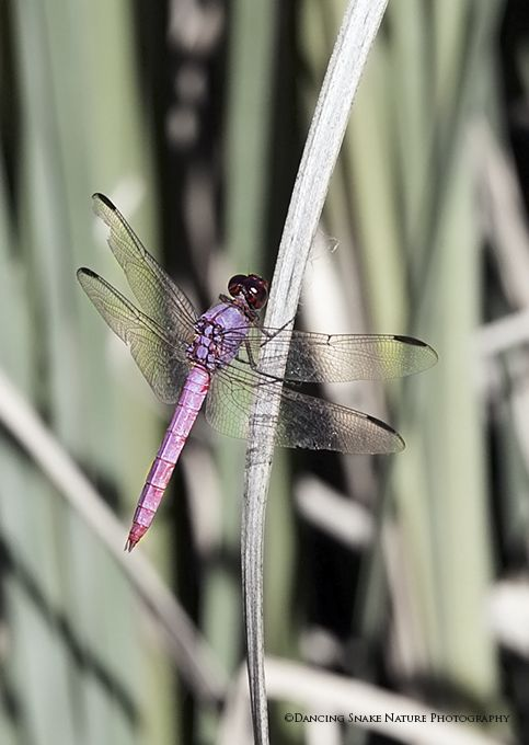 The Dragonfly is Pretty in Pink
