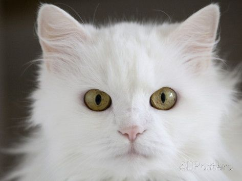 Cloudgh An All White Domesticated House Cat Of Mixed Breed