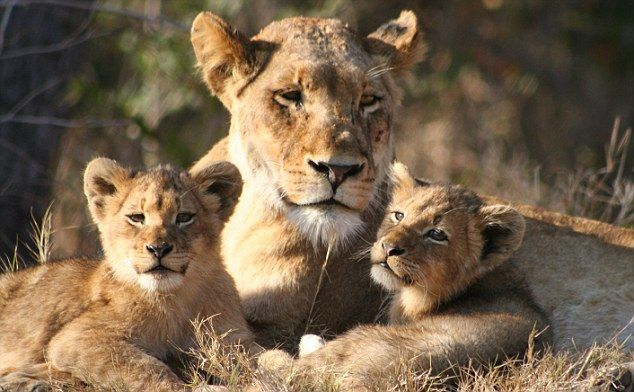 lioness.jpg 634×392 pikseliä