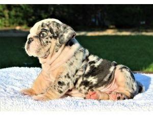 English Bulldog Breeders In Nc English bulldog puppies