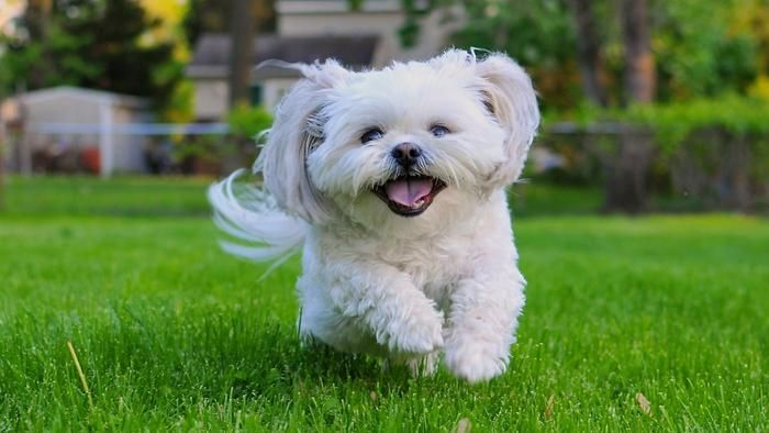 What Is The Average Size Of A Shih Tzu Funny Puppy Pictures