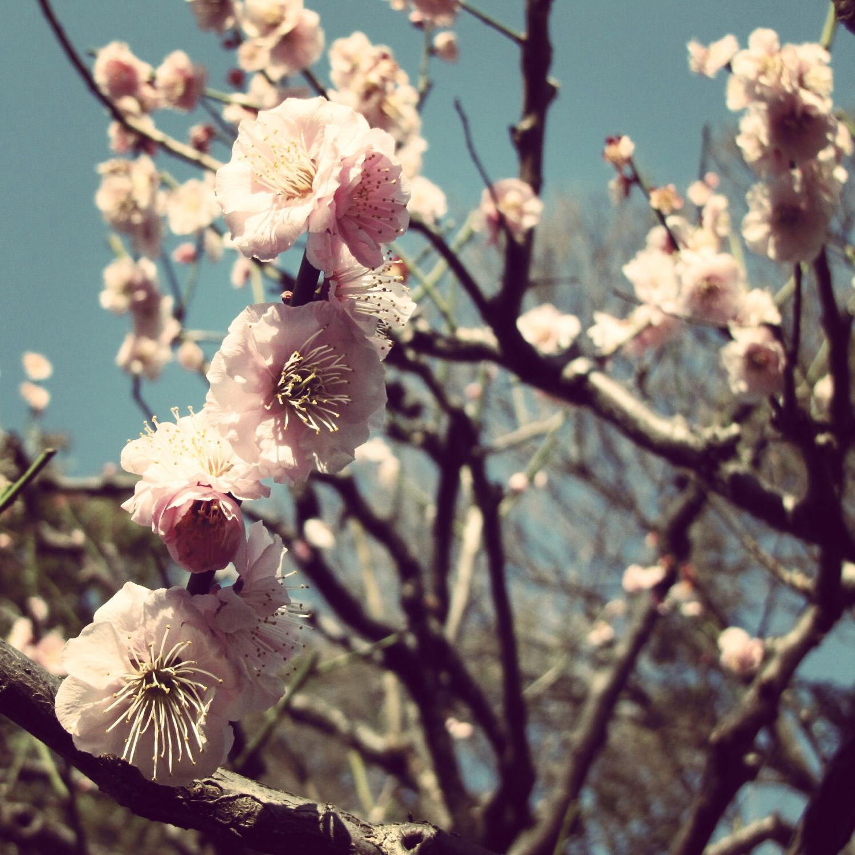 Cherry blossom #japan #tokyo