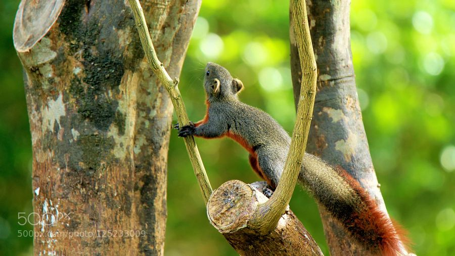 Red-tailed squirrel The red-tailed squirrel (Sciurus granatensis) is a tree squirrel in the genus Sciurus endemic to Central and South America. It is found in Colombia Costa Rica Ecuador Panama Trinidad and Tobago and Venezuela.