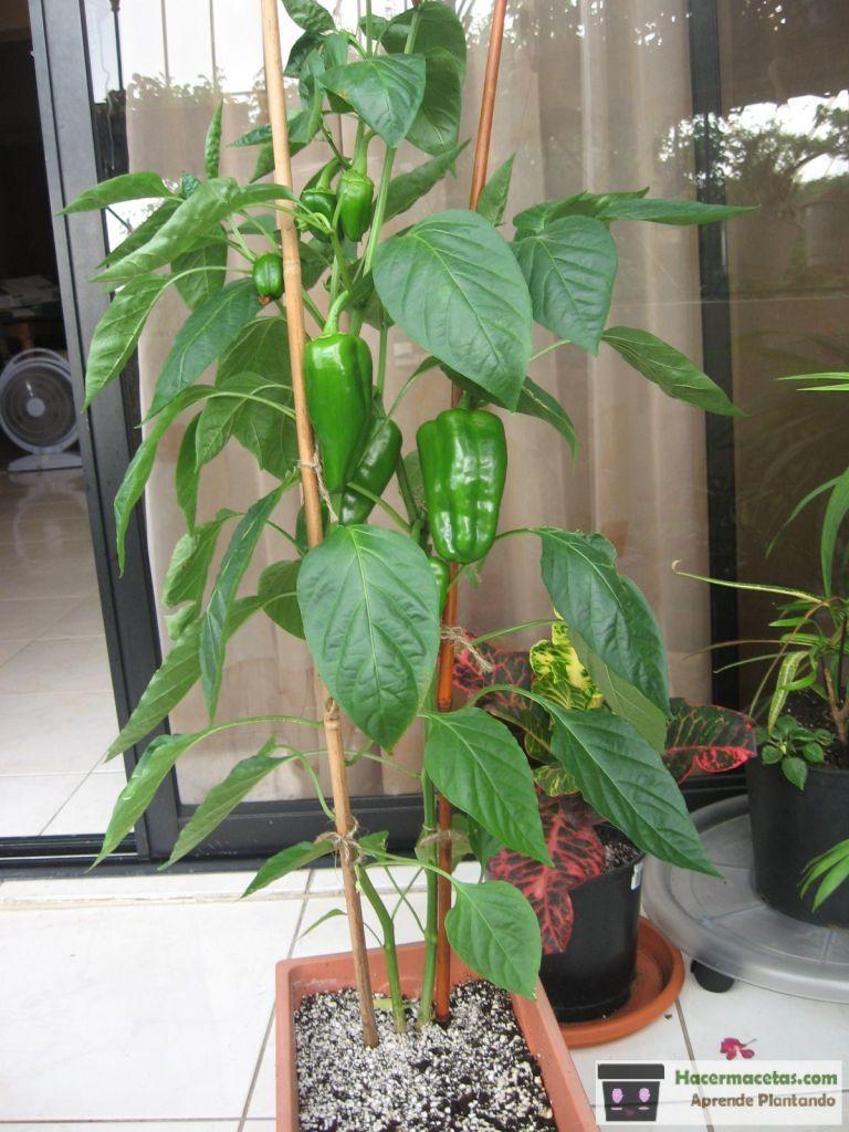 Pimientos Cultivar En Macetas Plantar Pimientos Como Cultivar Pimenton Cultivar