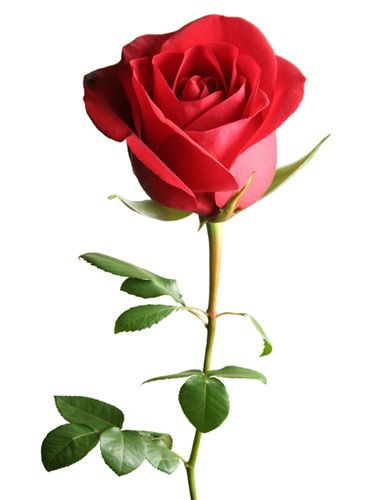 The Meaning Behind Popular Valentine S Day Flowers Beautiful Flowers Amazing Flowers Single Red Rose