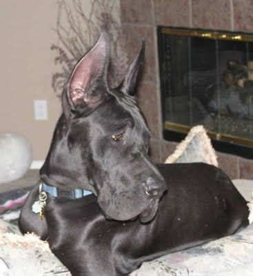 Great Danes Great Danes Great Dane Dogs Dane Puppies Great