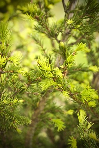 Picea abies 'Middle Finger' - Middle Finger Norway Spruce - Buy at Conifer Kingdom
