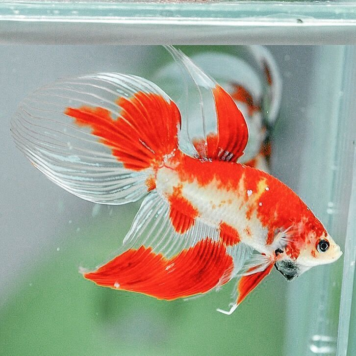 A beautiful koi marble veiltailbetta picture by home fish for Koi fish tail