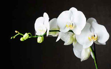 Close Up Of White Orchids Phalaenopsis Against Dark Background Orchids White Orchids Phalaenopsis