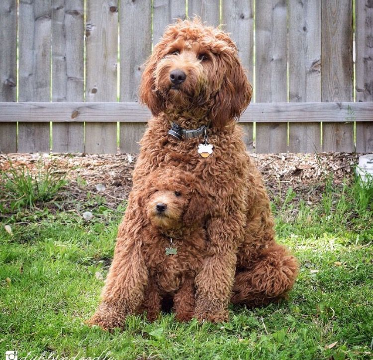 Mom Pup Fluffy Dogs Labradoodle Puppy Australian Labradoodle Puppies