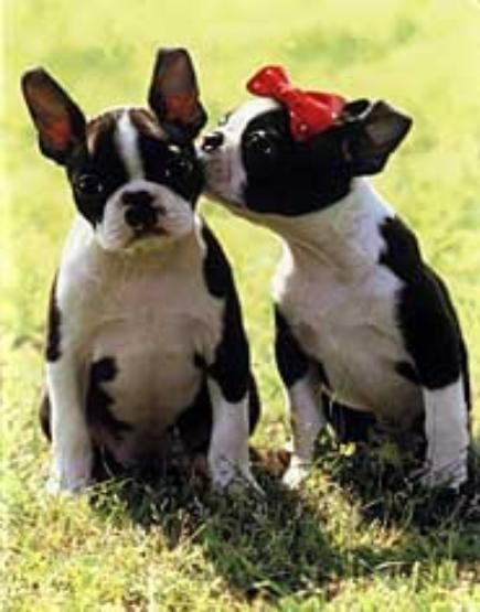 Boston Terrier Love Boston Terrier Welpen Susseste Haustiere Terrier