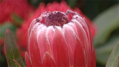 Gardening Australia Fact Sheet Growing Proteas And Waratahs Waratah Flower Protea Plant Care