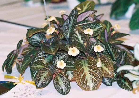 Sun Gold Episcia Amp Kohleria Plants Tropical Plants Ja