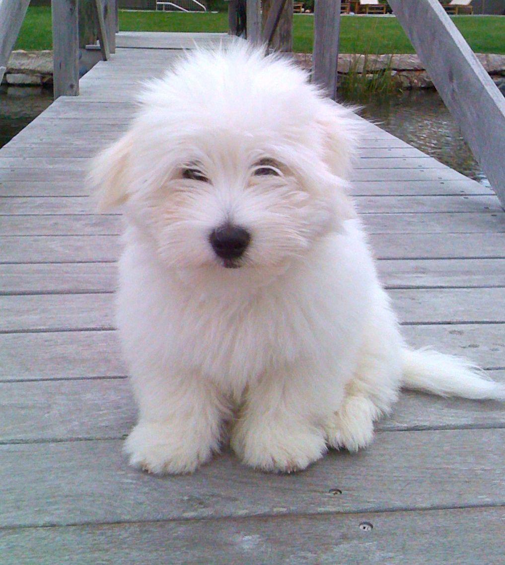 Toshi My Sweet Coton De Tulear Coton De Tulear Dogs Coton De