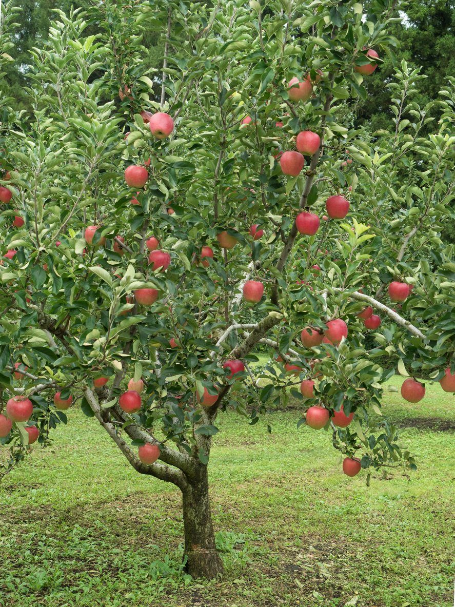 Fruit Trees For Zone 5 Selecting Fruit Trees That Grow In Zone 5 Fruit Tree Garden Fruit Plants Flower Garden Plans