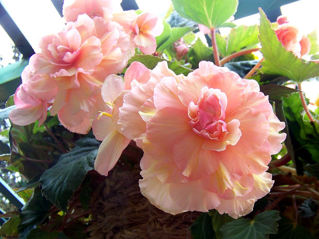 japanese begonia Begonia, Beautiful flower names, Flowers