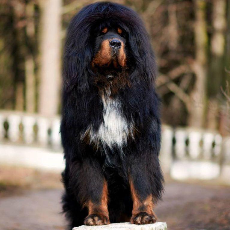 Mastiff Poodle Mix Mastipoo Mastidoodle 12 In 2020 Poodle Mix Large Dog Breeds Poodle